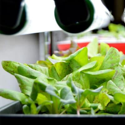 lettuce seedlings growing under lights