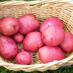 Harvesting the Dark Red Norland Potatoes