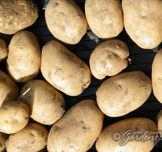 Harvesting the Kennebec Potatoes