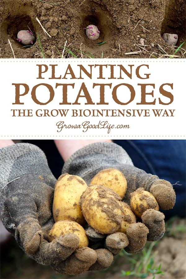 Planting potatoes the Grow Biointensive way involves double-digging beds, feeding the soil with compost, and planting closely to conserve spacing and create a microclimate. Visit to learn how to grow more potatoes in less space.