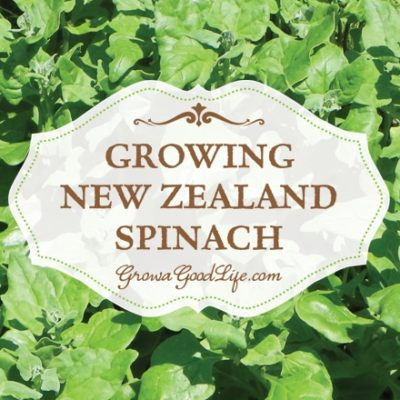 Growing New Zealand Spinach