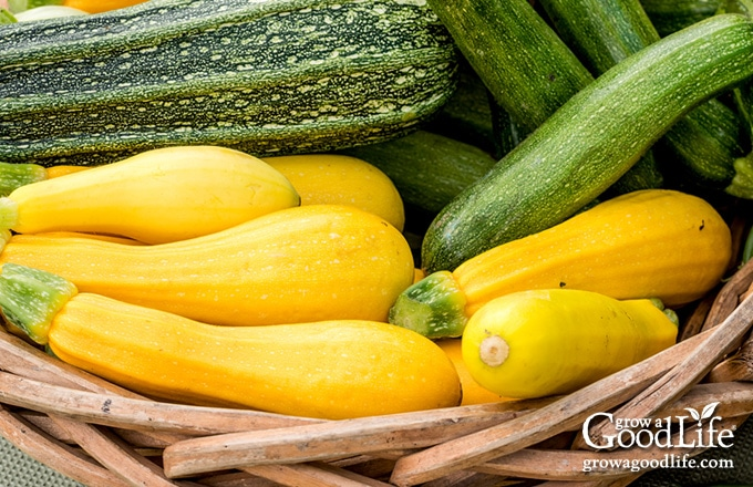 harvest basket filled with green and yellow zucchini