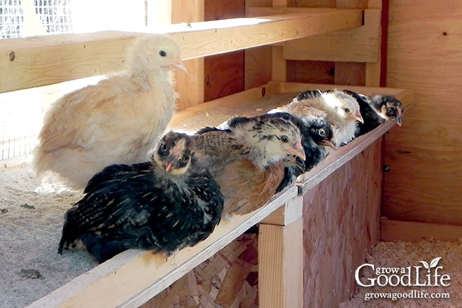 At the end of May 2013 we added seven fluffy day old chicks to the homestead. With very little building knowledge or skills, we managed to construct a coop and pen and provide the girls with a safe and dry place to live.