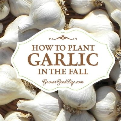 Planting Garlic in the Fall