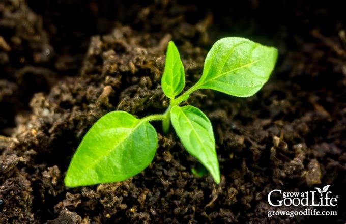 pepper seedling