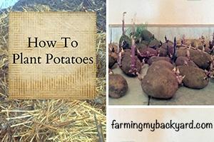 How-To-Plant-Potatoes-@-Farming-My-Backyard