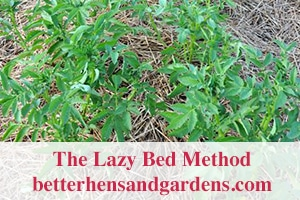 betterhensandgardens_Lazy-Bed-Potatoes