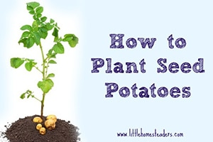 littlehomesteaders-Planting-Potatoes-