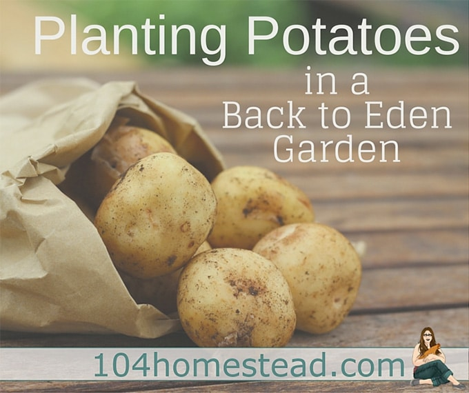 Planting Potatoes in a Back to Eden Garden by The 104 Homestead