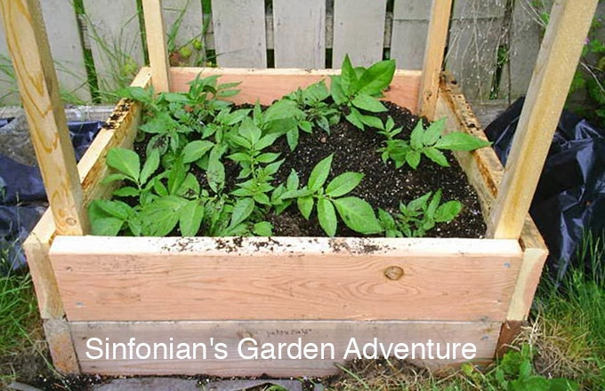 If you are short on gardening space, growing your potatoes above ground in bins, cages, or towers are a great way to grow an abundance of potatoes in a very limited space.
