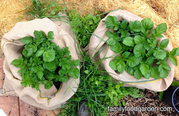Growing potatoes in containers seem to be more successful than the large above ground potato bins. The smaller containers are much easier to care for and keep up with watering. Harvesting the potatoes grown in containers is a snap, too — instead of digging you just dump out the soil and there they are!