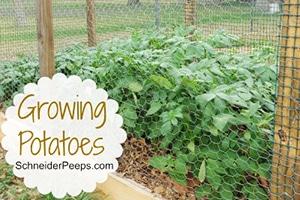 schneiderpeeps-Growing-Potatoes