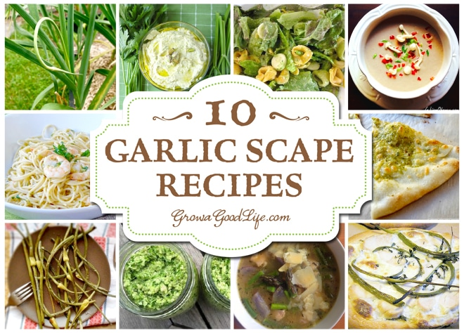 Over 10 Garlic Scape Recipes Curated by Grow a Good Life. The garlic scape is edible and has a lovely, mild garlic flavor with a hint of sweetness. The scape is most tender, with almost an asparagus-like texture when it is curling.