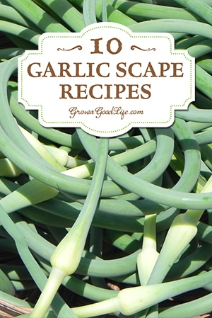 Over 10 Garlic Scape Recipes Curated by Grow a Good Life