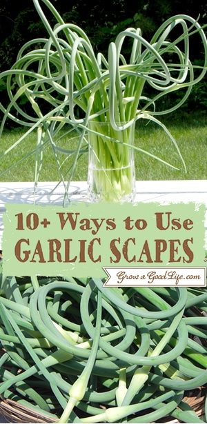 The garlic scape is edible and has a lovely, mild garlic flavor with a hint of sweetness. The scape is most tender, with almost an asparagus-like texture when it is curling. Here are 10+ Garlic Scape Recipes.
