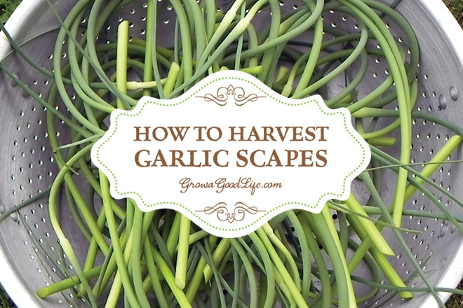 If you grow hardneck garlic you are in for a treat because the plant provides two harvests. A few weeks before the garlic bulb finishes growing, you will have an opportunity to harvest garlic scapes. These tender, mildly garlic flavored shoots are delicious. See how easy it is to harvest garlic scapes and ten creative ways to use them.