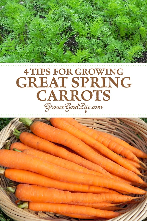Do you have difficulty growing spring carrots? Germination seems to take forever in the spring due to the cool air and soil temperatures. A lot can go wrong during this time. Here are 4 tips to improve carrot seed germination.
