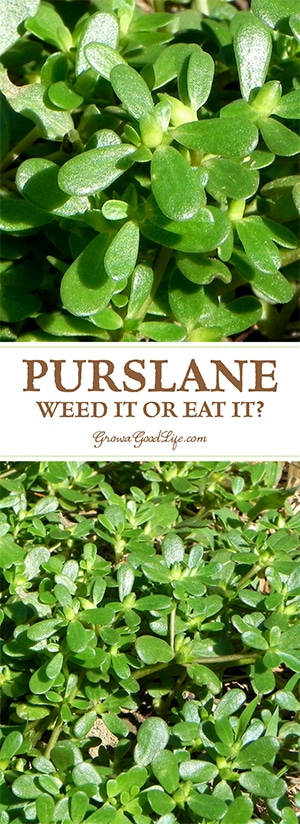Have you found purslane in your garden and wondering if you should weed it or eat it? Learn more about purslane and discover some recipes too.