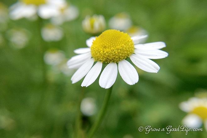 chamomile-photo