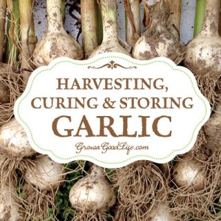 Harvesting, Curing, and Storing Garlic