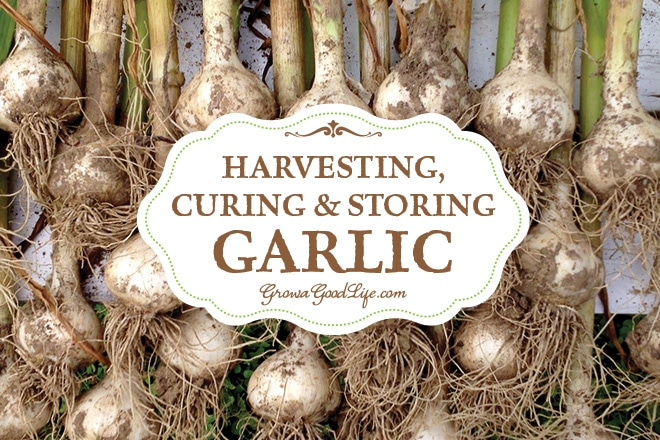 Harvesting Curing And Storing Garlic