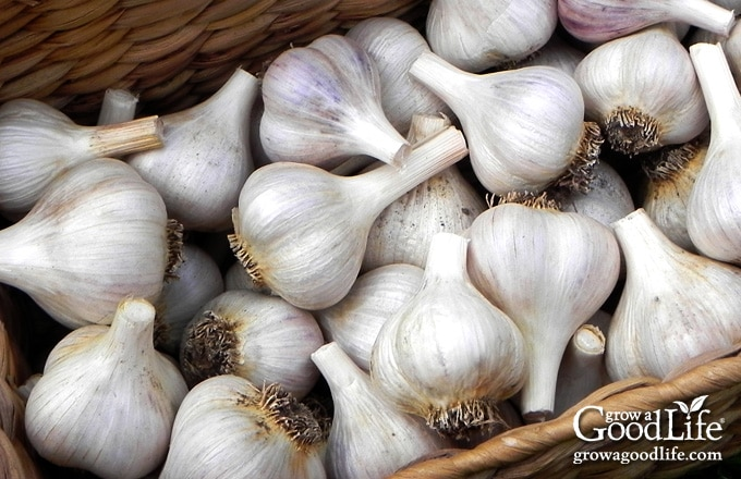 Basket of cured garlic ready for storing