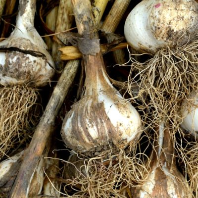 Knowing when to harvest garlic can be tricky. Here are tips to help you decide when the time is right to harvest garlic, plus learn how to cure and store garlic for winter.