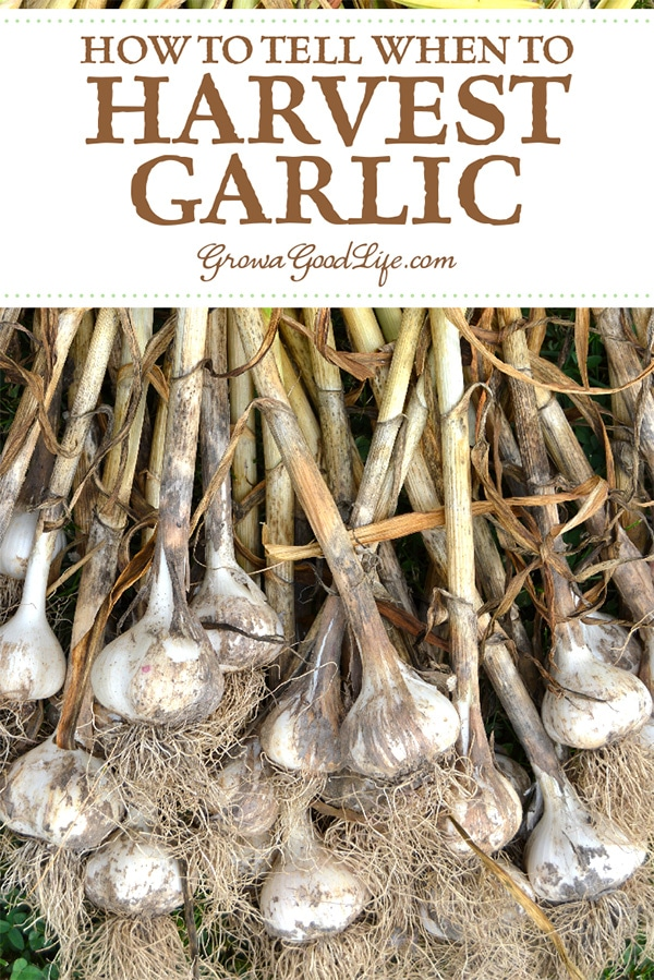 Since the garlic bulbs are under ground, it is difficult to tell when the garlic is ready to harvest. Read on for tips to help you harvest garlic at the right time, plus how to cure and store garlic to enjoy all winter.