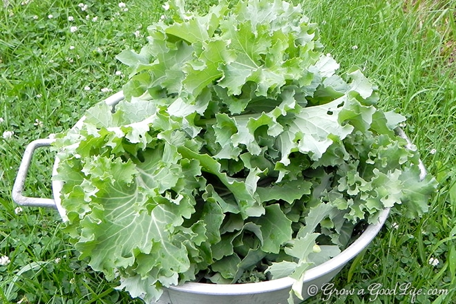 kale-harvest-photo