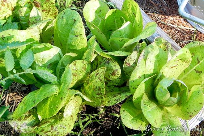 forellenschluss-lettuce-photo