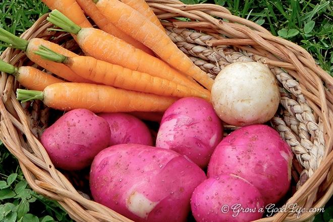 potatoes-carrot-harvest-photo