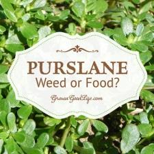 pruslane-weed-or-food-growagoodlife