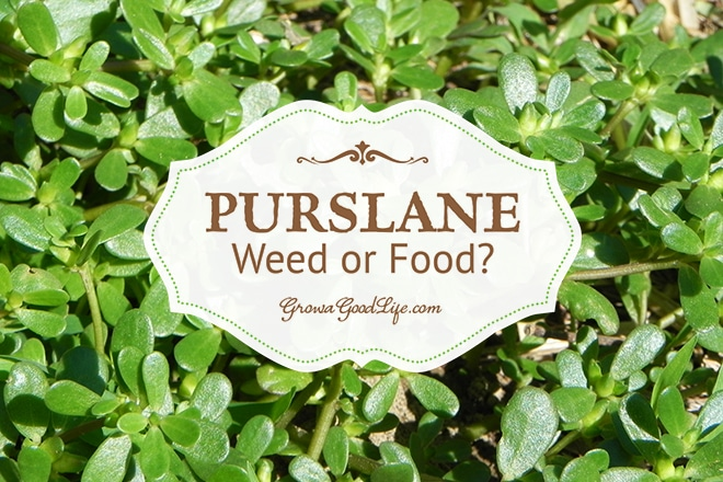 Have you found purslane in your garden and are you wondering if you should weed it or eat it?