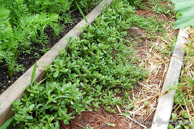 Purslane is low in calories, high in fiber, an excellent source of the essential amino acids, Omega-3 fatty acids, and vitamins A, C and E.