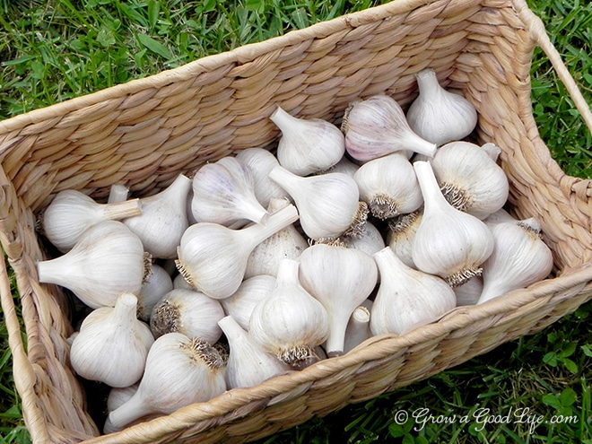 store garlic Harvesting, Curing, and Storing Garlic