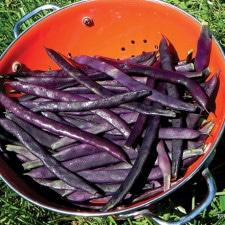 Purple-Trionfo-Pole-Beans-photo