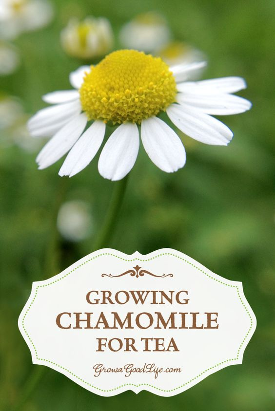 Growing Chamomile for Tea is easy. Chamomile grows best in a sunny location but can tolerate some shade. Once the plant is established, it is drought tolerant and trouble free.