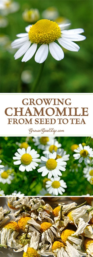Growing Chamomile for Tea is easy. Chamomile grows best in a sunny location but can tolerate some shade. It is drought tolerant and trouble free.