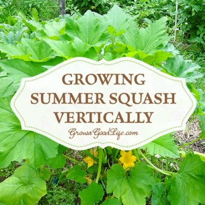 Growing Summer Squash Vertically