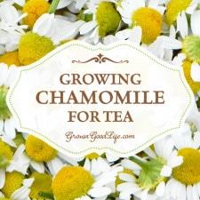 How to Grow Chamomile for Tea | Grow a Good Life