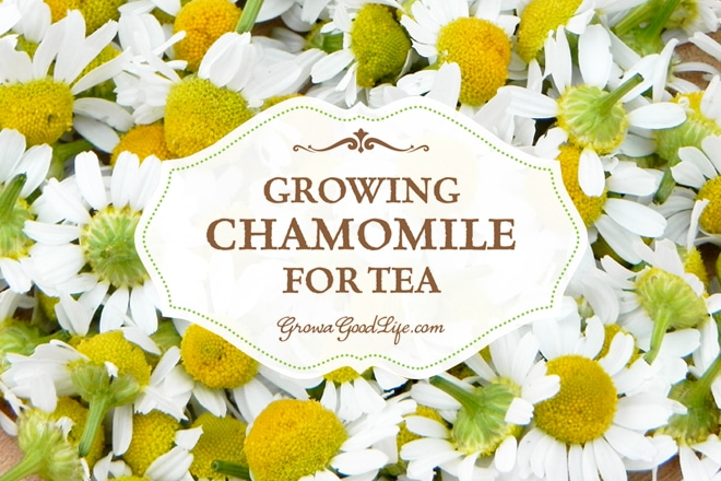 How to Grow Chamomile for Tea | Grow a Good Life