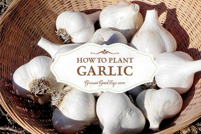 how-to-plant-garlic-growagoodlife-photo
