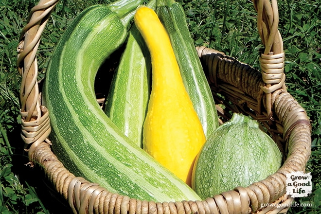 Growing summer squash vertically by trellising or in tomato cages helps to save space, encourages air circulation, and allows the squash to be more visible reducing the chance of overgrowth.