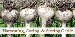 top-harvest-garlic-photo