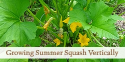 Grow Summer Squash Vertically to Save Space in the Garden