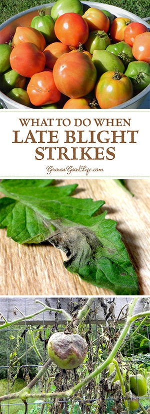 Late blight is not a treatable disease and it will kill your plants. In addition, late blight is highly communicable disease that is carried on wind and will infect other gardens and farms within a 50-mile radius. So it is important to destroy infected plants once you confirm you have late blight.