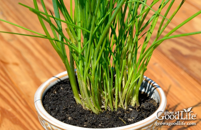 Grow Herbs Indoors: Chives