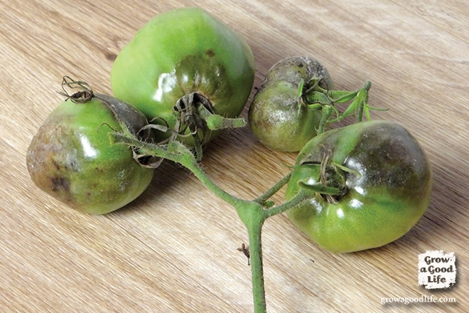 Late Blight on Tomatoes | Grow a Good Life