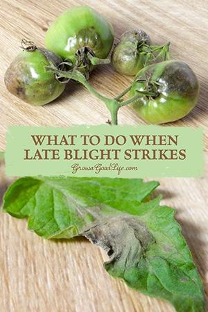 late-blight-strikes-pin-growagoodlife