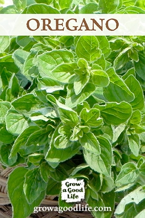 Grow Herbs Indoors: Oregano is just one of the herbs that can grow indoors during the winter. See the other herbs that can grow successfully with low light and cooler temperatures.